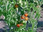 Para el lado de los tomates